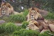 http://t1.gstatic.com/images?q=tbn:gpwhxTV3hjERHM:http://upload.wikimedia.org/wikipedia/commons/1/1a/Lions_-_melbourne_zoo.jpg